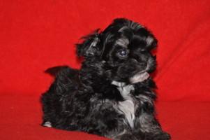 havaneser und malteser mischlinge hundezucht von den zobelzwergen der allergiker geeignete hund. Black Bedroom Furniture Sets. Home Design Ideas