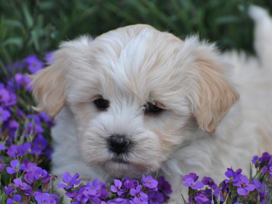Havaneser und Malteser Mischlinge Hundezucht von den Zobelzwergen ...