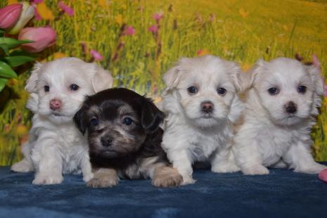 Havaneser Und Malteser Mischlinge Hundezucht Von Den Zobelzwergen 4 Havaneser Malteser Mix Welpen Abgabe Ab Mitte Juni