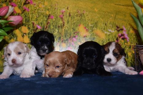 Havaneser Und Malteser Mischlinge Hundezucht Von Den Zobelzwergen 5 Havaneser Malteser Mix Welpen Abgabe Ab Ende Juni