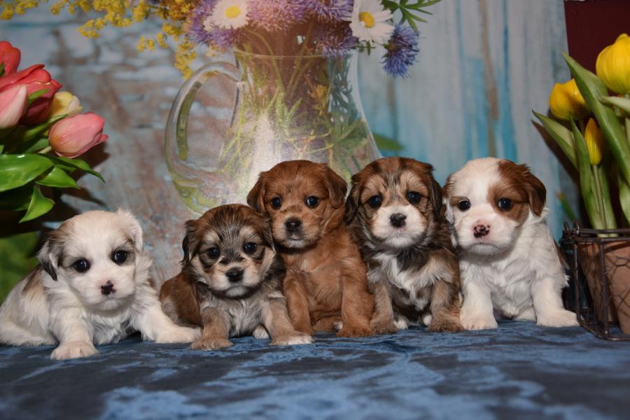 Havaneser Und Malteser Mischlinge Hundezucht Von Den Zobelzwergen Gastebuch